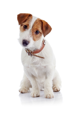 jack russell: The small doggie of breed a Jack Russell Terrier sits on a white background