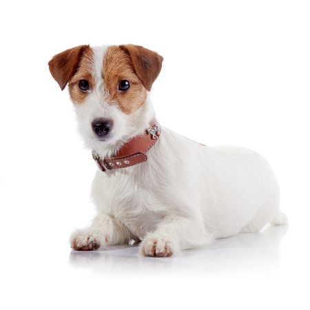 doggie: The small lovely doggie of breed a Jack Russell Terrier lies on a white background