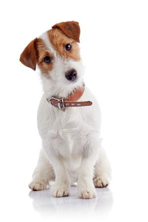 Small doggie of breed a Jack Russell Terrier sits on a white background