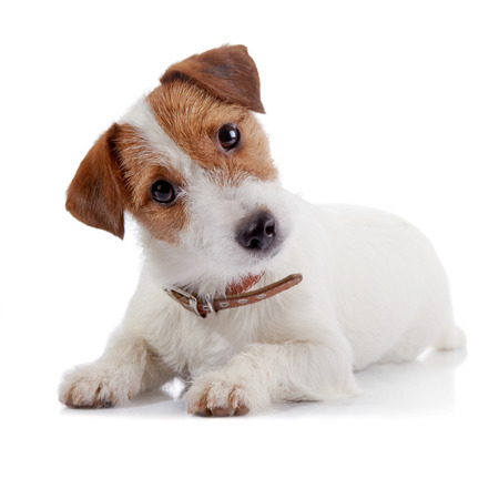 doggie: Small lovely doggie of breed a Jack Russell Terrier lies on a white background