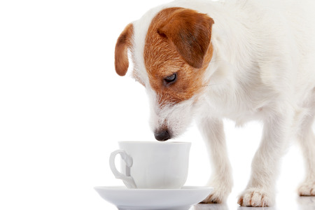 Breed doggie Jack Russell with a white cup on a white background. Stock Photo