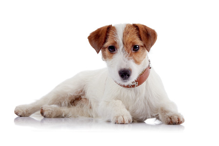 paw russell: White with red a small doggie of breed a Jack Russell Terrier on a white background