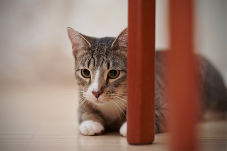 hides: The striped domestic cat hides behind chair legs.