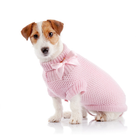The small doggie of breed a Jack Russell Terrier in a pink sweater sits on a white background.