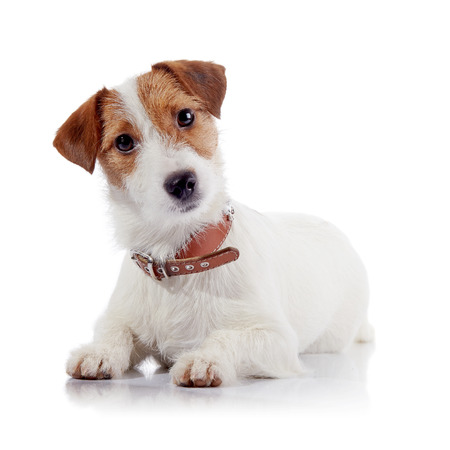 doggie: The small doggie of breed a Jack Russell Terrier lies on a white background Stock Photo