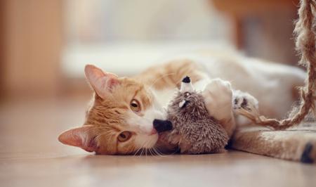 furry animals: Rojo con blanco del gato juguetón rayas miente en un suelo con un juguete.