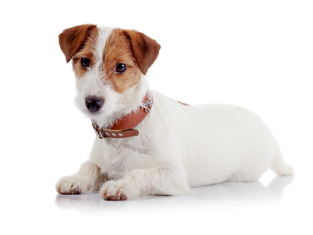 The small doggie of breed a Jack Russell Terrier lies on a white background Stock Photo