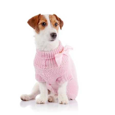doggie: The small doggie of breed a Jack Russell Terrier in a pink jumper sits on a white background.