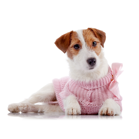 doggie: Small doggie of breed a Jack Russell Terrier in a pink jumper lies on a white background