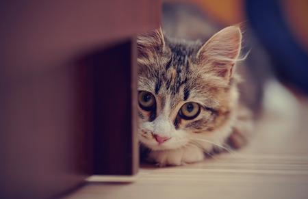 Ritratto del gatto domestico di un colore multi-colored che si nascondeva in un agguato. Archivio Fotografico - 53862468