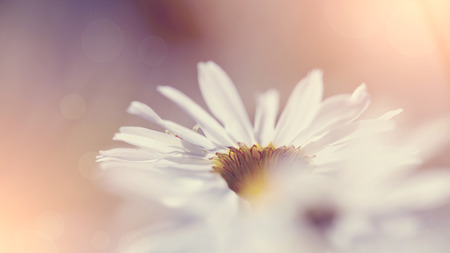 inflorescence: Inflorescence of a wild field flower of a camomile.