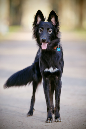 shaggy: The black not thoroughbred shaggy cheerful dog with a fluffy tail. Stock Photo
