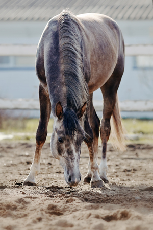 thoroughbred: Sports thoroughbred horse walks in the paddock