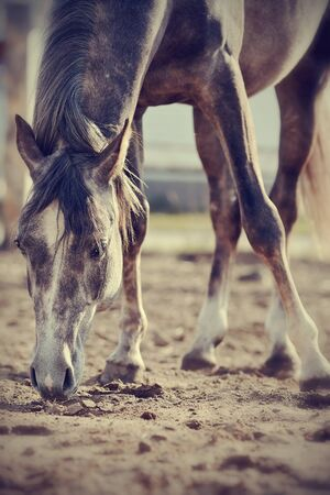 gelding: Horse on the walk, sniffing the ground.