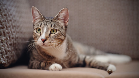Attentive striped cat of a gray color on a sofa. Stock Photo