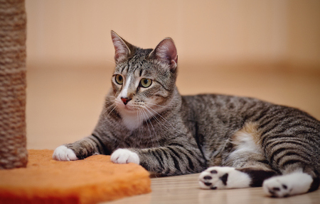 Striped cat of a gray color with white paws. Stock Photo