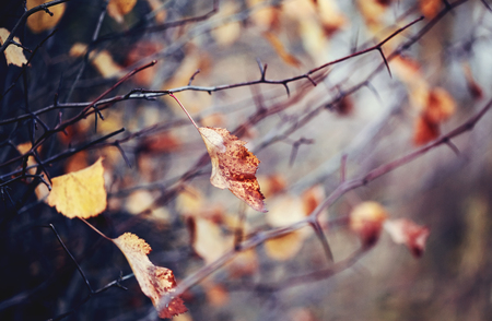 Withered autumn leaves on the branches of hawthorn. Golden autumn.