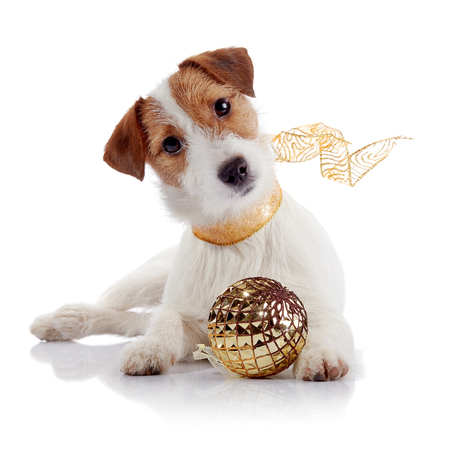 pet new years new year pup: The small doggie of breed a Jack Russell Terrier and Christmas ball Stock Photo