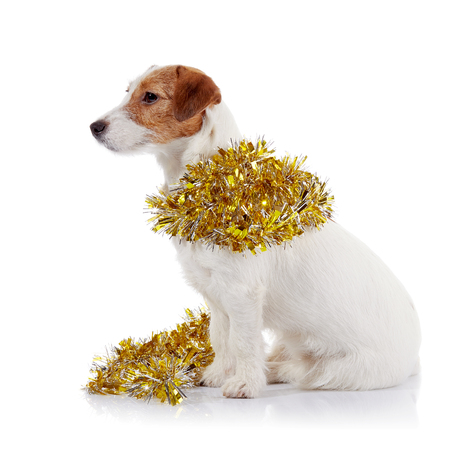 pet new years new year pup: Small doggie of breed a Jack Russell Terrier and Christmas tinsel