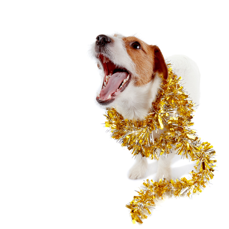 The small doggie of breed a Jack Russell Terrier and Christmas tinsel
