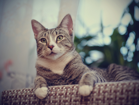 Portrait of a striped cat of a gray color with white paws. Stock Photo