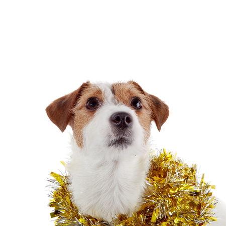 pet new years new year pup: Portrait of a small doggie of breed a Jack Russell Terrier and Christmas tinsel