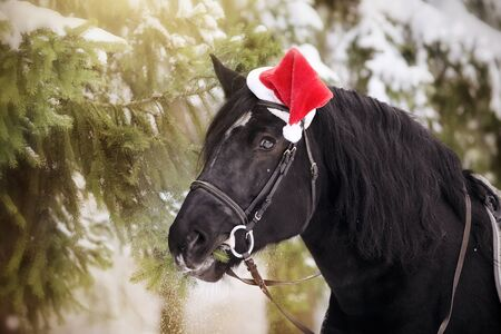 Black stallion in a red Santa Claus hat eats fir-tree branches   Stock Photo
