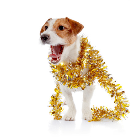 pet new years new year pup: The small doggie of breed a Jack Russell Terrier and Christmas tinsel