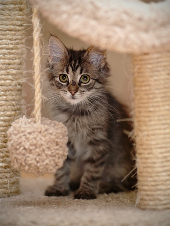 Striped gray fluffy kitten with white moustaches Stock Photo