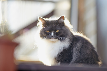 Portrait of a fluffy cat of a smoky color with yellow eyes, lit with the sun.