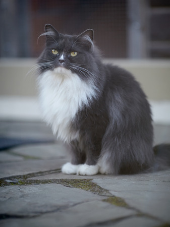 Fluffy cat of a smoky color with yellow eyes.