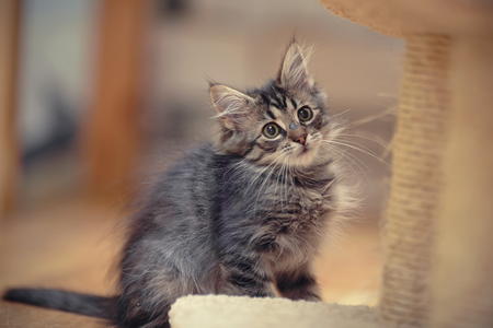 grey cat: The gray fluffy striped kitten sits on a floor. Stock Photo