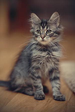 grey cat: Gray fluffy striped kitten sits on a floor. Stock Photo