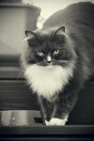 Not a color portrait of a fluffy cat of a smoky color with yellow eyes.