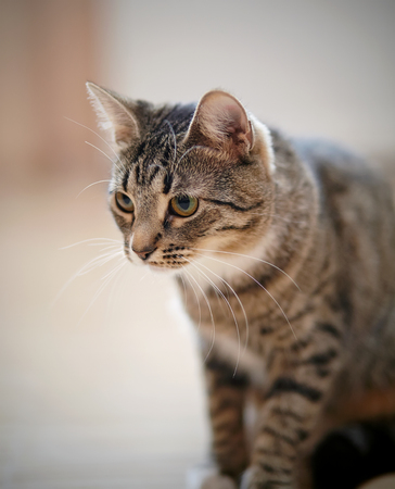 Portrait of an ordinary striped domestic cat. Stock Photo