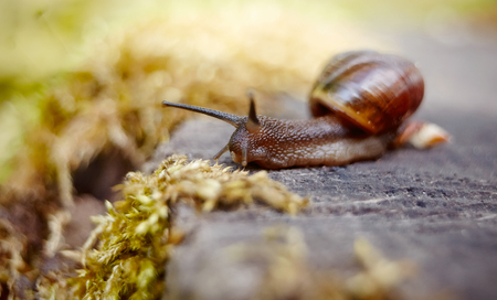 A small brown snail crawling in the environment. Stock Photo