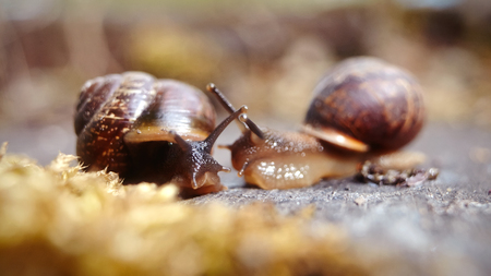 The meeting of two little brown snails. Banco de Imagens - 79140280