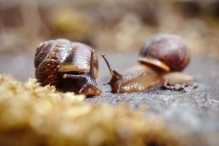 Meeting of two little brown snails. Two snails.