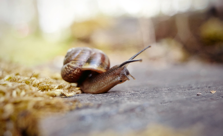 babosa: Curious brown snail crawling in the environment.