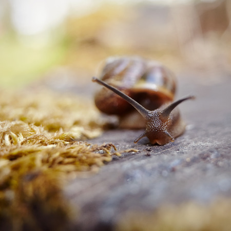 Small brown snail crawling in the environment. Banco de Imagens - 81421438