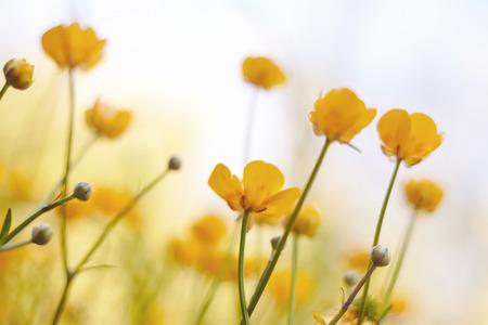 buttercups: The field summer yellow blossoming buttercups.