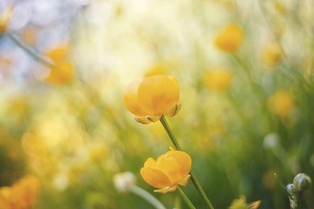 Yellow flowers of buttercups in the field in the summer. Stock Photo