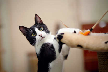 The amusing cat of a black-and-white color plays with a toy.