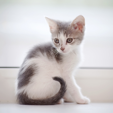 The domestic little spotty kitten sits at a window.