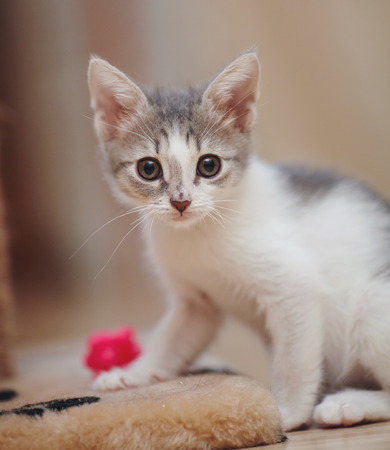 gray: The little kitten of a color, white with spots, sits on a floor.