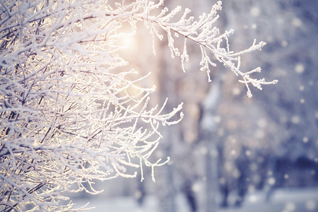 Branches in hoarfrost and snow in the winter, are lit with the sun. Stock Photo