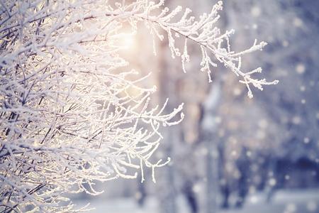 Gałęzie szronu i śniegu zimą oświetlone są słońcem. Zdjęcie Seryjne
