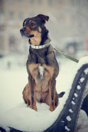Purebred black and brown dog sits on the bench which is filled up with snow