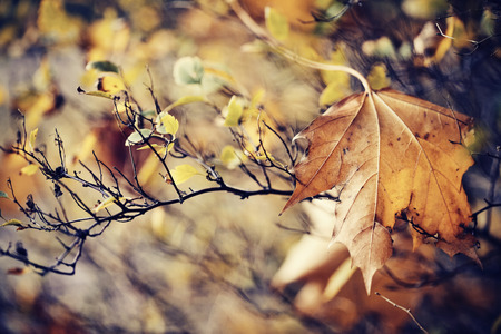 The autumn faded maple leaf which has fallen and got stuck in branches.