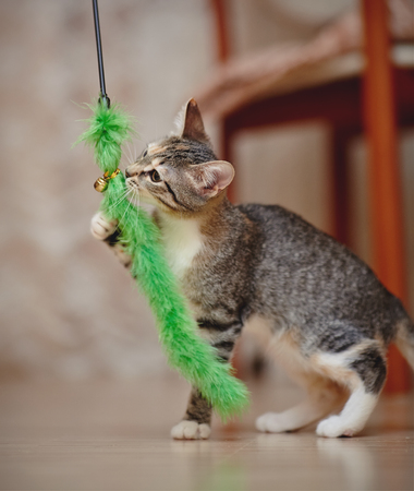 The young striped domestic cat plays with a green toy.